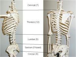 پاورپوینت بررسی آناتومی و حرکات تنه (انسان)
